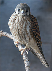 Ella, the American Kestrel