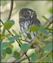 iPod, the Northern Pygmy-owl