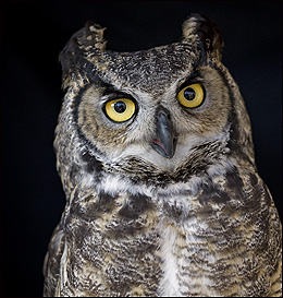 Jillian, the Great Horned Owl