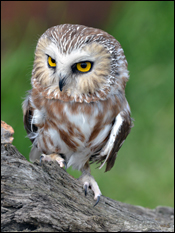 Owen, the Northern Saw-whet Owl