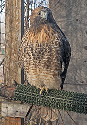 Simone, the Red-tailed Hawk