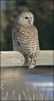 Barred Owl photo, in our Raptors of the West book.