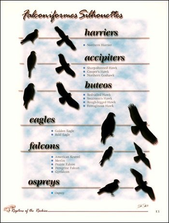 Page 13 - Falconiformes Silhouettes