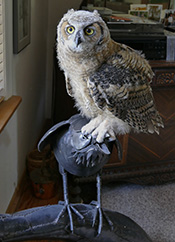 Simon the Great Horned Owl standing on the Raven sculpture in the office.